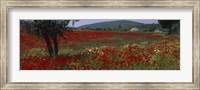 Red poppies in a field, Turkey Fine Art Print