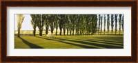 Poplar Trees Near A Wheat Field, Twin Falls, Idaho, USA Fine Art Print