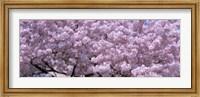 USA, Washington DC, Close-up of cherry blossoms Fine Art Print