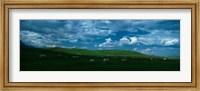 Charolais cattle grazing in a field, Rocky Mountains, Montana, USA Fine Art Print