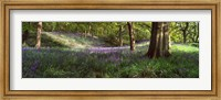Bluebells In A Forest, Newton Wood, Texas, USA Fine Art Print