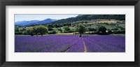 Lavender Field, Provence, France Fine Art Print