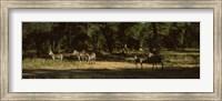 Herd of zebras in a forest, Hwange National Park, Matabeleland North, Zimbabwe Fine Art Print