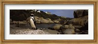 Colony of Jackass penguins on the beach, Boulder Beach, Cape Town, Western Cape Province, Republic of South Africa Fine Art Print