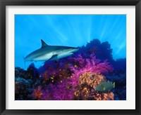 Caribbean Reef shark (Carcharhinus perezi) and Soft corals in the ocean Fine Art Print