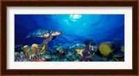 Hawksbill turtle (Eretmochelys Imbricata) and French angelfish (Pomacanthus paru) with Stoplight Parrotfish (Sparisoma viride) Fine Art Print