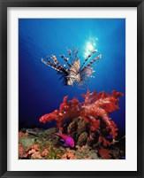 Lionfish (Pteropterus radiata) and Squarespot anthias (Pseudanthias pleurotaenia) with soft corals in the ocean Fine Art Print