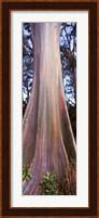 Rainbow eucalyptus (Eucalyptus deglupta) tree, Hana Highway, Maui, Hawaii, USA Fine Art Print