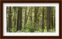 Trees in a forest, Quinault Rainforest, Olympic National Park, Washington State Fine Art Print