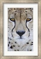 Close-up of a cheetah (Acinonyx jubatus), Tanzania Fine Art Print