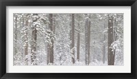 Snow covered Ponderosa Pine trees in a forest, Indian Ford, Oregon, USA Fine Art Print