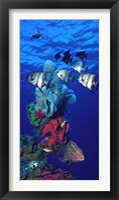 Spadefishes with Nassau Grouper (Epinephelus striatus) and a Hawksbill Turtle (Eretmochelys Imbricata) swimming underwater Fine Art Print