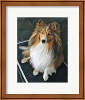 Sheltie Bred to Bark Fine Art Print