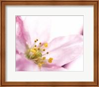 Extreme close up of cherry blossom Fine Art Print