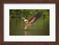 Black-Collared hawk pouncing over water, Three Brothers River, Meeting of Waters State Park, Pantanal Wetlands, Brazil Fine Art Print
