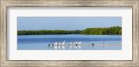 White pelicans on Sanibel Island, Florida, USA Fine Art Print