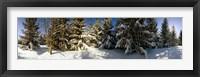 Snow covered pine trees, Quebec, Canada Fine Art Print