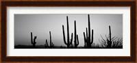 Black and White Silhouette of Saguaro cacti, Saguaro National Park, Arizona Fine Art Print