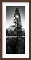 Sun Behind Pine Tree, Half Dome, Yosemite Valley, California, USA Fine Art Print
