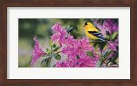 Goldfinch In Azaleas Fine Art Print