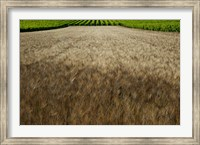 Wheat field surrounded by vineyards, Cucuron, Vaucluse, Provence-Alpes-Cote d'Azur, France Fine Art Print