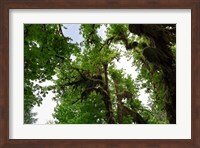 Low angle view of trees in a forest, Hoh Rainforest, Olympic National Park, Washington State, USA Fine Art Print