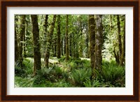 Ferns and Trees, Quinault Rainforest, Olympic National Park, Washington State Fine Art Print