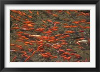 Goldfish (Carassius auratus) swimming in the Yu River Canal, Old Town, Lijiang, Yunnan Province, China Fine Art Print