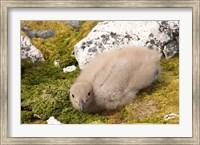 Brown skua bird chick, western Antarctic Peninsula Fine Art Print