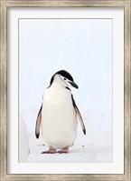 Chinstrap Penguin, The South Shetland Islands, Antarctica Fine Art Print