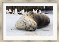 Chinstrap Penguins and Leopard Seal, The South Shetland Islands, Antarctica Fine Art Print
