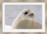 Close up of Crabeater seal, Antarctica Fine Art Print