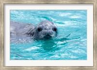 Crabeater seal, western Antarctic Peninsula Fine Art Print