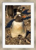 Gentoo penguin, South Shetland Islands, Antarctica Fine Art Print