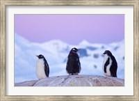 Gentoo penguin, Western Antarctic Peninsula Fine Art Print
