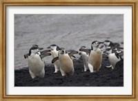 Chinstrap Penguin on the beach, Deception Island, Antarctica Fine Art Print