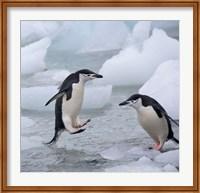 Chinstrap Penguins on ice, Antarctica Fine Art Print