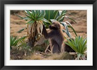 Gelada Baboons With Giant Lobelia, Simen National Park, Northern Ethiopia Fine Art Print