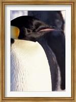 Emperor Penguin, Antarctica Fine Art Print