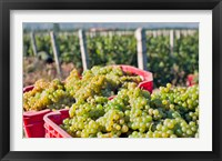 Harvesting Chardonnay grapes in Huailai Rongchen vineyard, Hebei Province, China Fine Art Print