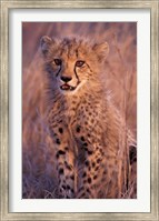 Cheetah, Phinda Reserve, South Africa Fine Art Print