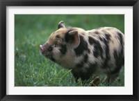 Domestic Farmyard Piglet, South Africa Fine Art Print