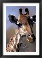 Close-up of Giraffe Feeding, South Africa Fine Art Print