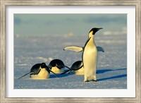 Emperor Penguins, Antarctica, Atka Bay, Weddell Sea Fine Art Print