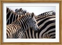 Black and White Stripe Pattern of a Plains Zebra Colt, Kenya Fine Art Print