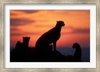 Cheetah Silhouetted By Sunset, Masai Mara Game Reserve, Kenya Fine Art Print