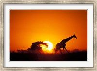 Giraffe Walks Past Setting Sun, Chobe River, Chobe National Park, Botswana Fine Art Print