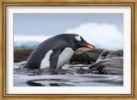 Antarctica, Cuverville Island, Gentoo Penguin climbing from water. Fine Art Print
