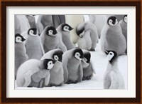 Emperor Penguins on ice, Snow Hill Island, Antarctica Fine Art Print