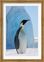 Emperor Penguin on ice, Snow Hill Island, Antarctica Fine Art Print
